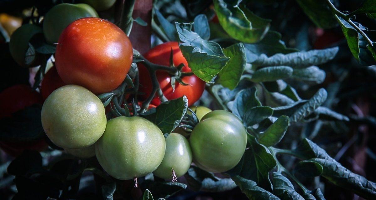Vegyszermentesen termelt zöldség raktározására logisztikai központ épül Cserdiben